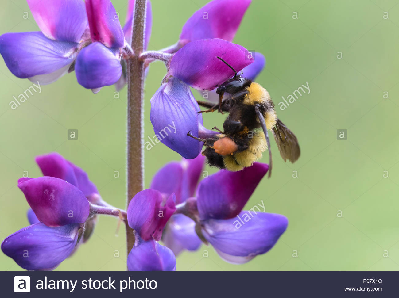 Sonoran bumble bee collecting pollen from lupine flower - Stock Image