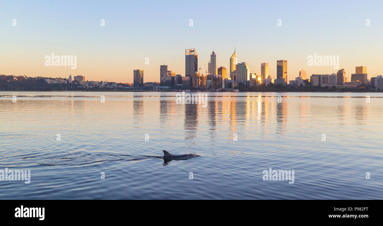 Indo-Pacific bottlenose dolphin (Tursiops aduncus) in the Swan River with Perth city in the distance. - Stock Image
