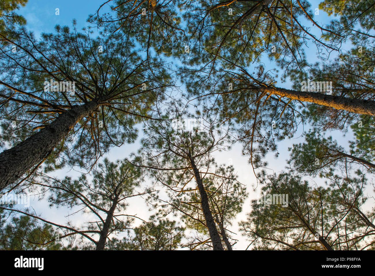 Looking up at tall Illinois trees in the summer time with a calming blue to white sky - Stock Image