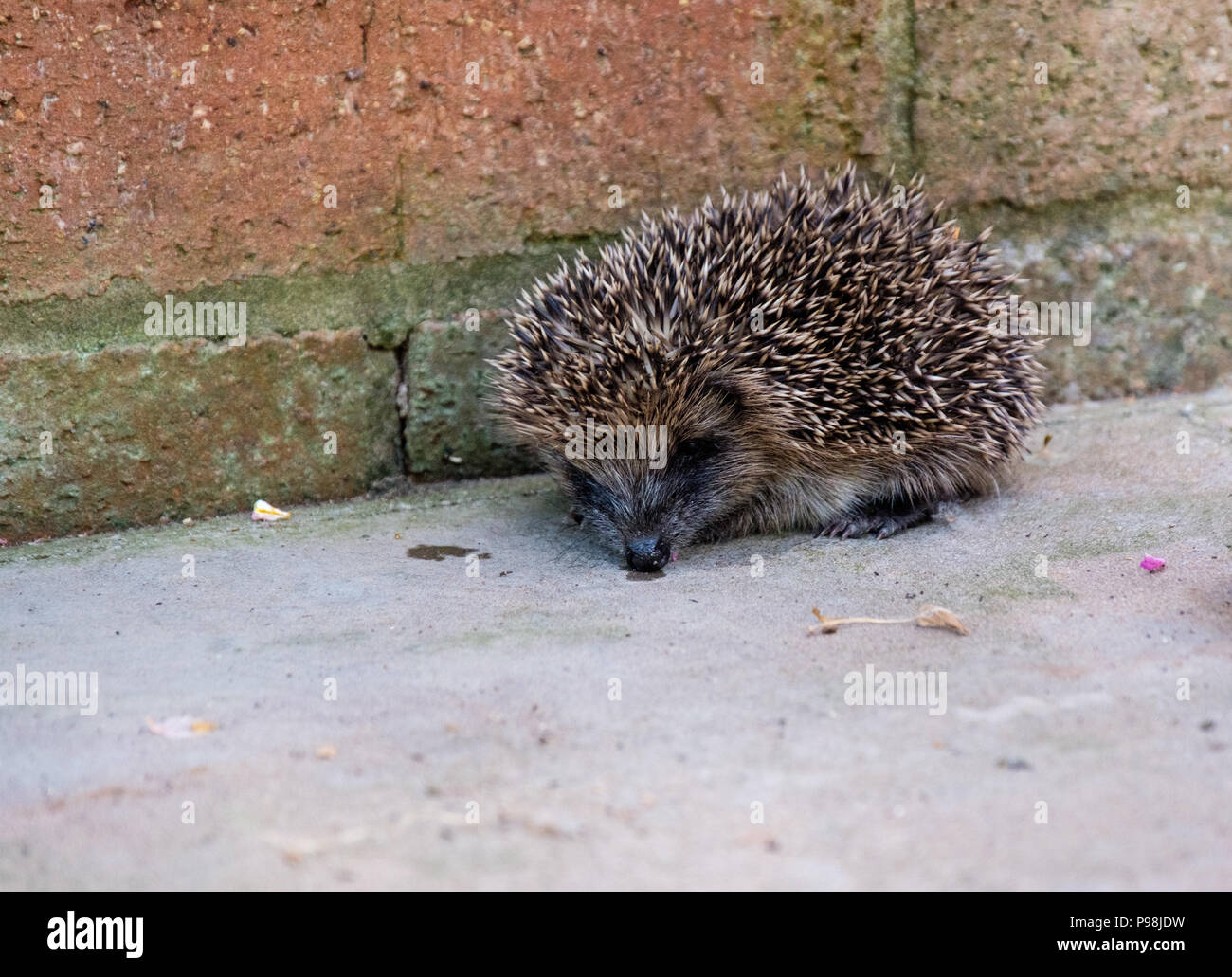 Hedgehog in garden, Church Stretton, Shropshire - Stock Image