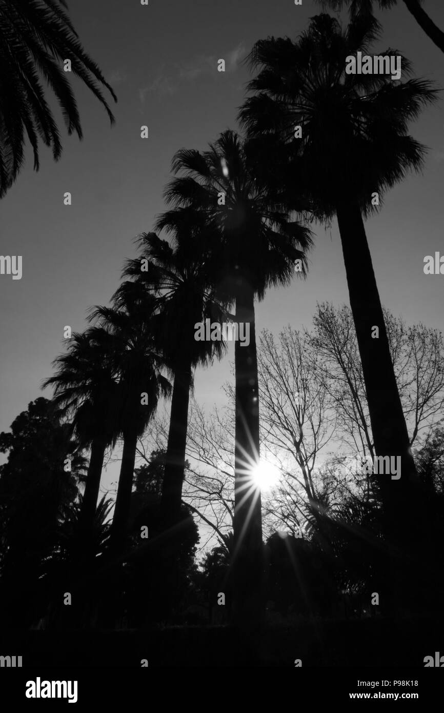 Spring tropical evening Sun diffraction between the silhouettes of few tall palms growing in a line, black and white image, beautiful rays of light am - Stock Image