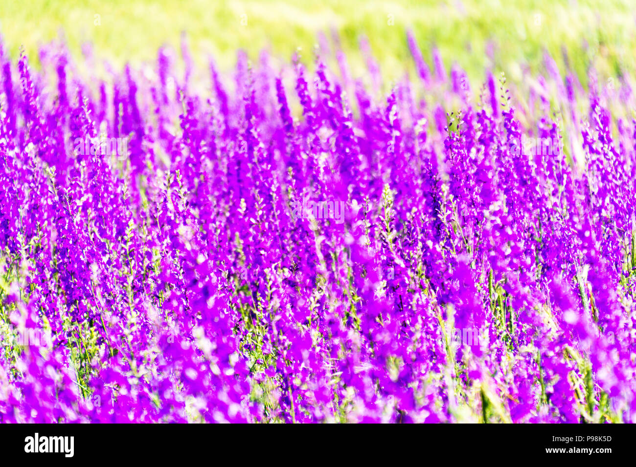 Purple Spring Summer Background With Small Flowers Soft Focus
