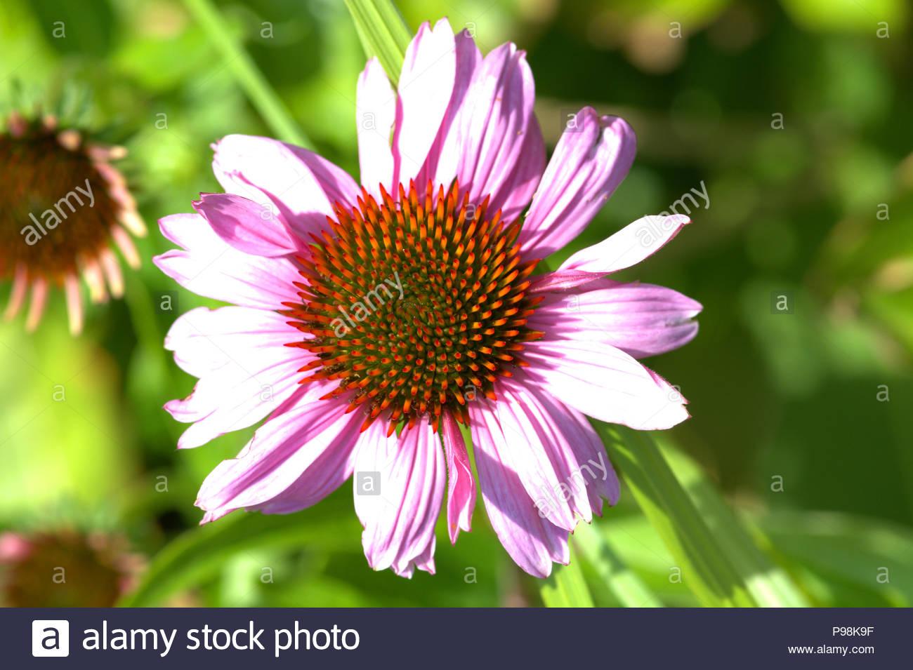 Purpur-Sonnenhut - Echinacea purpurea, auch Roter Scheinsonnenhut genannt. Nahaufnahme der Blüte mit dem konischen Blütenkorb. - Stock Image