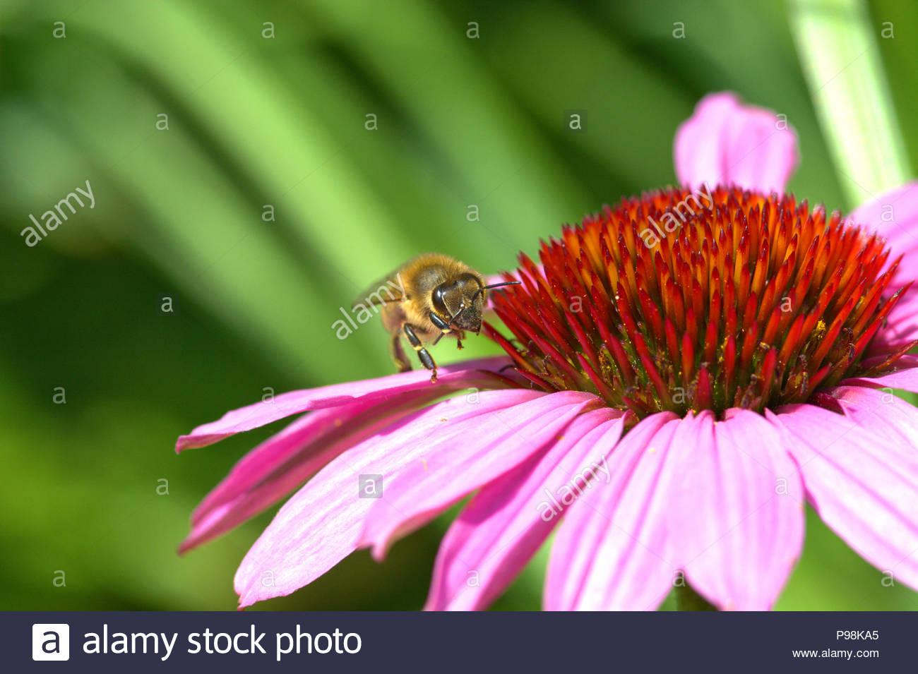 Purpur-Sonnenhut - Echinacea purpurea, auch Roter Scheinsonnenhut genannt. Foto der Blüte mit dem konischen Blütenkorb mit einer Wildbiene. - Stock Image