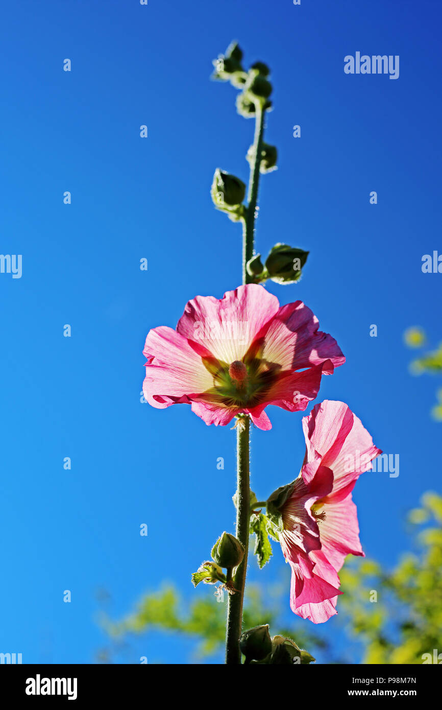 A Hollyhock (Malvaceae) plant grows tall against a bright blue sky in an English country garden. - Stock Image