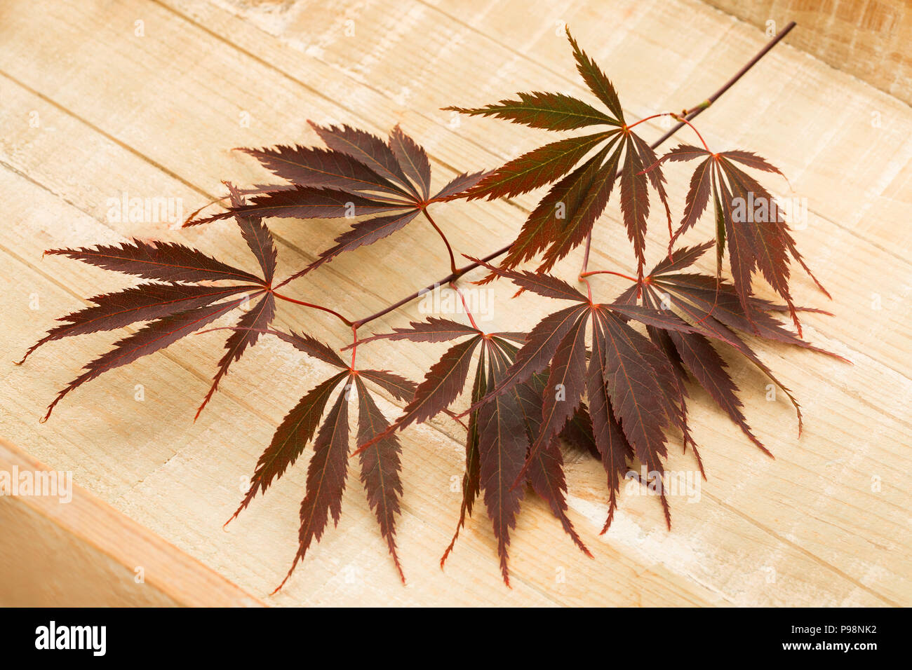 Single twig of fresh brown Japanese maple leaves on a wooden background - Stock Image