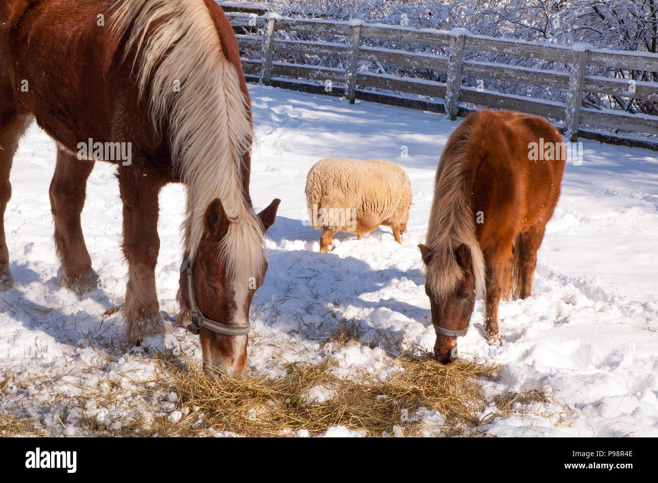 Shadows of animals eating a snack in the snow. - Stock Image