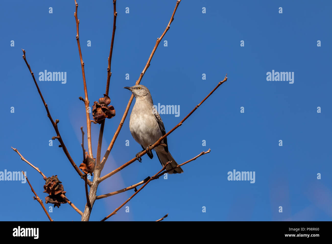 Northern Mockingbird Mimus Polyglottos Perched On A Tree Branch San Jose California