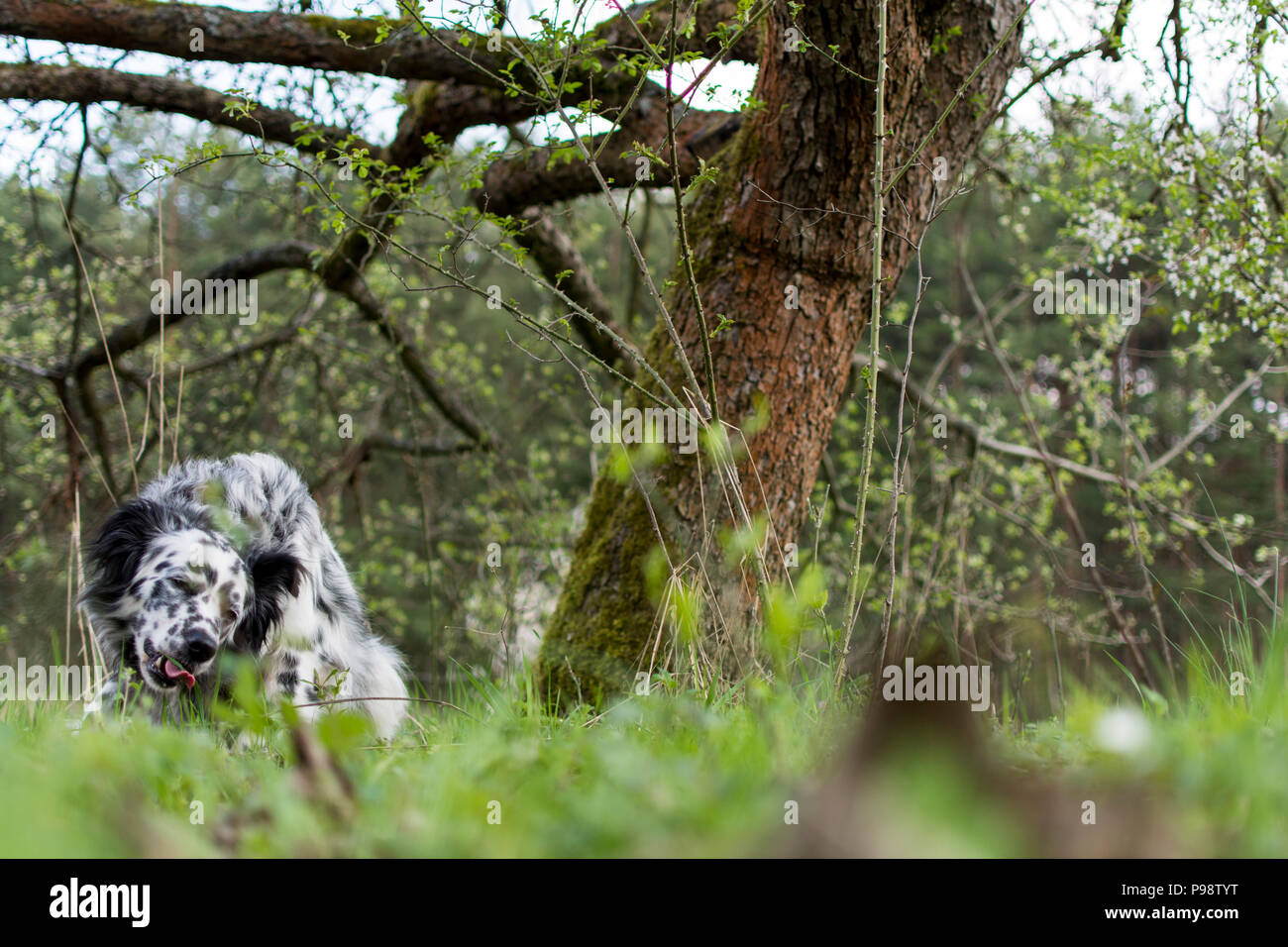 dog resting after play on the meadow - Stock Image
