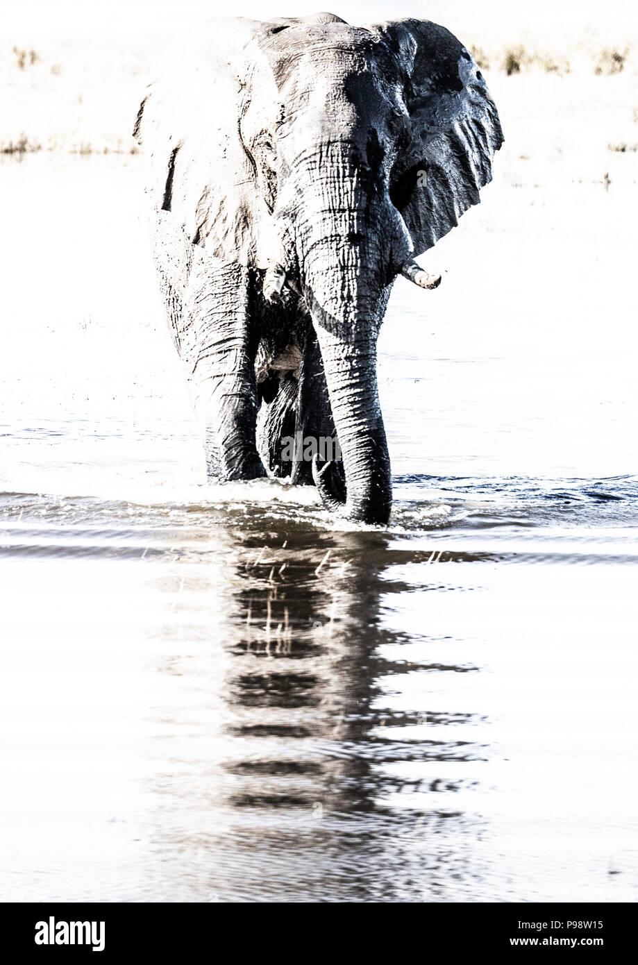 Elephants in the Chobe River, Botswana Namibia border. - Stock Image