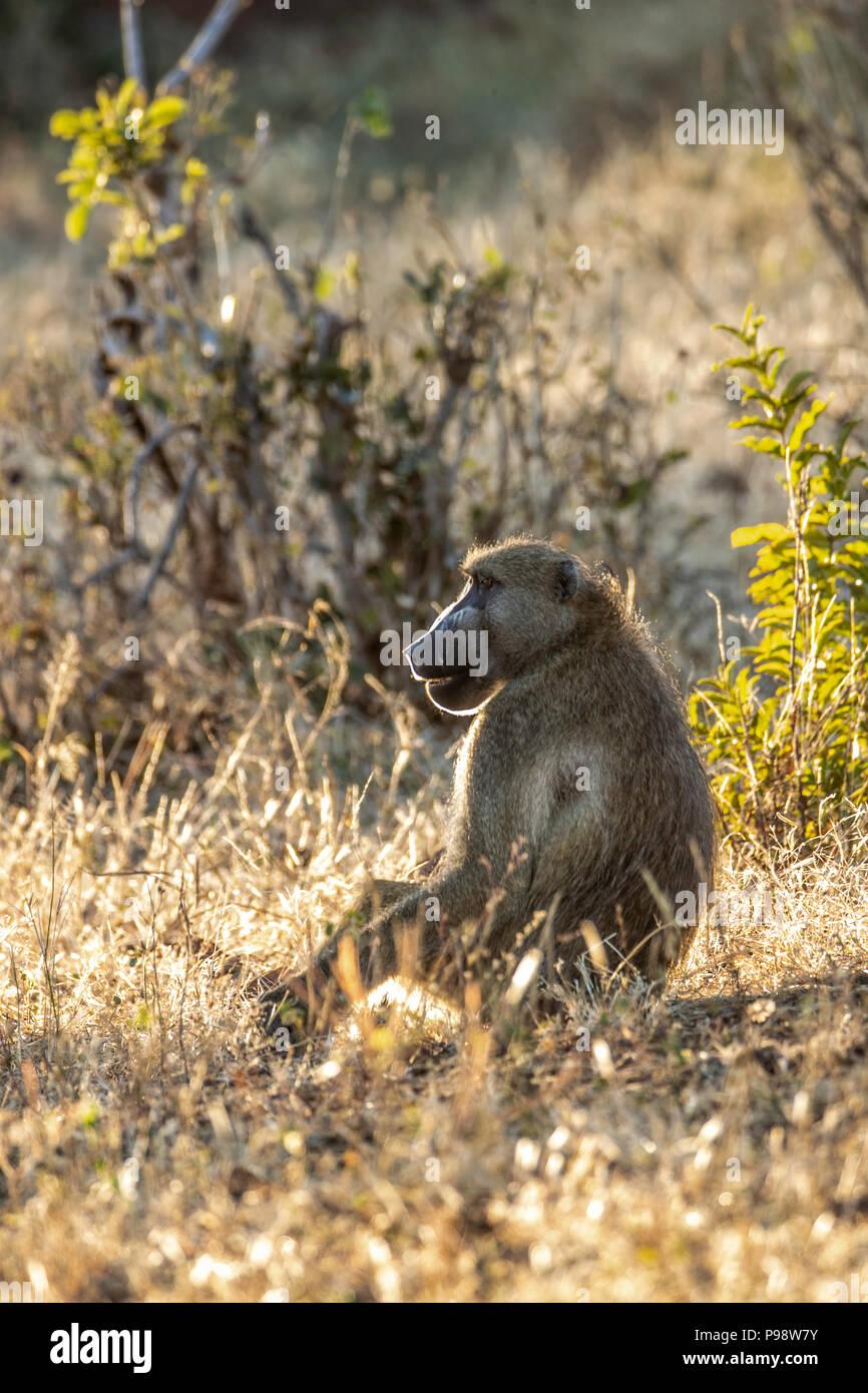 Chacma Baboons, Chobe, Botswana - Stock Image