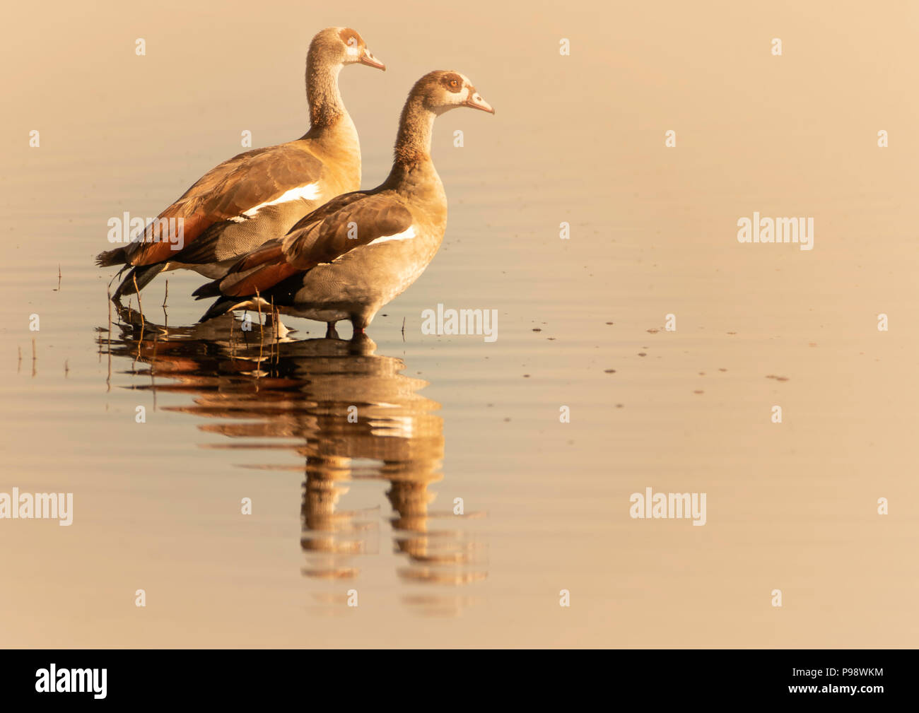 Pair of Egyptian Geese standing in shallow water, Chobe River, Botswana - Stock Image