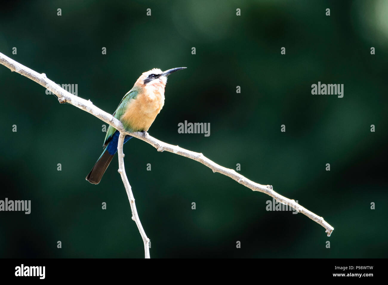 White Fronted Bee Eater on a twig, John's Camp, Mana Pools, Zimbabwe - Stock Image
