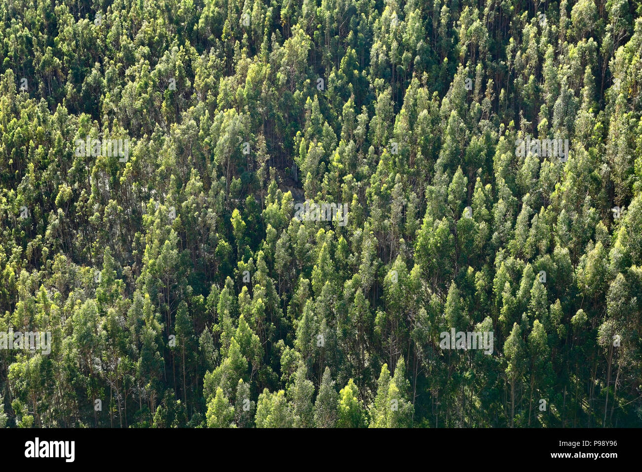 Aerial detail of eucalyptus forests in Ocopilla - Stock Image