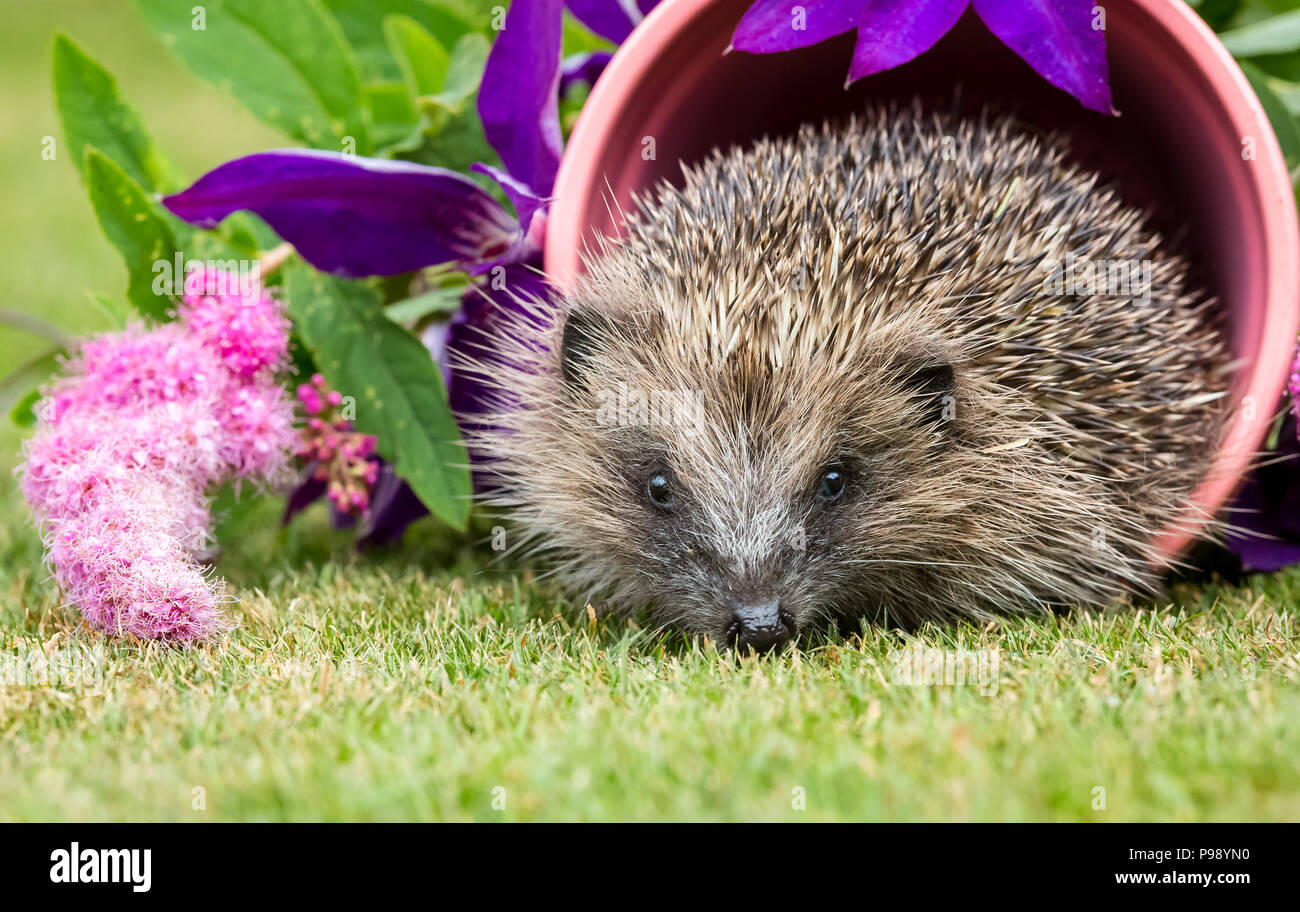 Hedgehog, native, wild European hedgehog in pink plant pot surrounded by colourful pink and purple flowers.  Scientific name: Erinaceus Europaeus - Stock Image