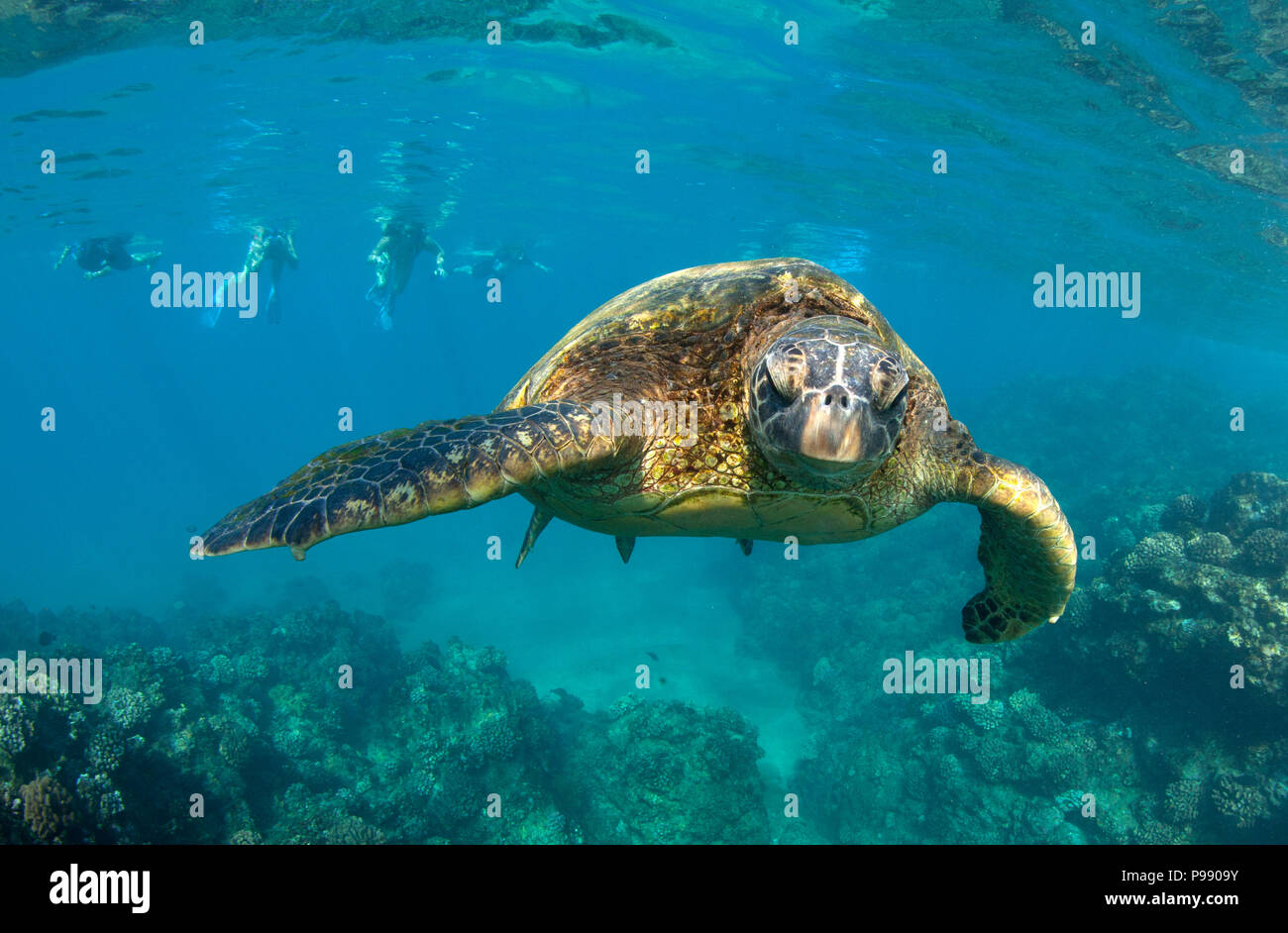 Green sea turtle encounter at Black Rock, Ka'anapali, Maui, Hawaii. - Stock Image