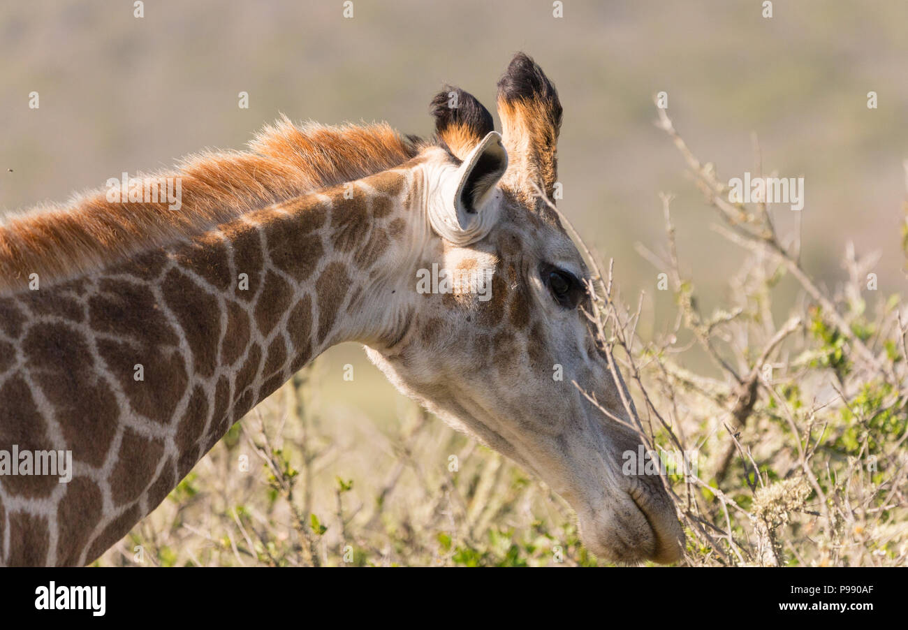 Giraffe eating leaves bending forward face and neck only in the wild in South Africa Stock Photo