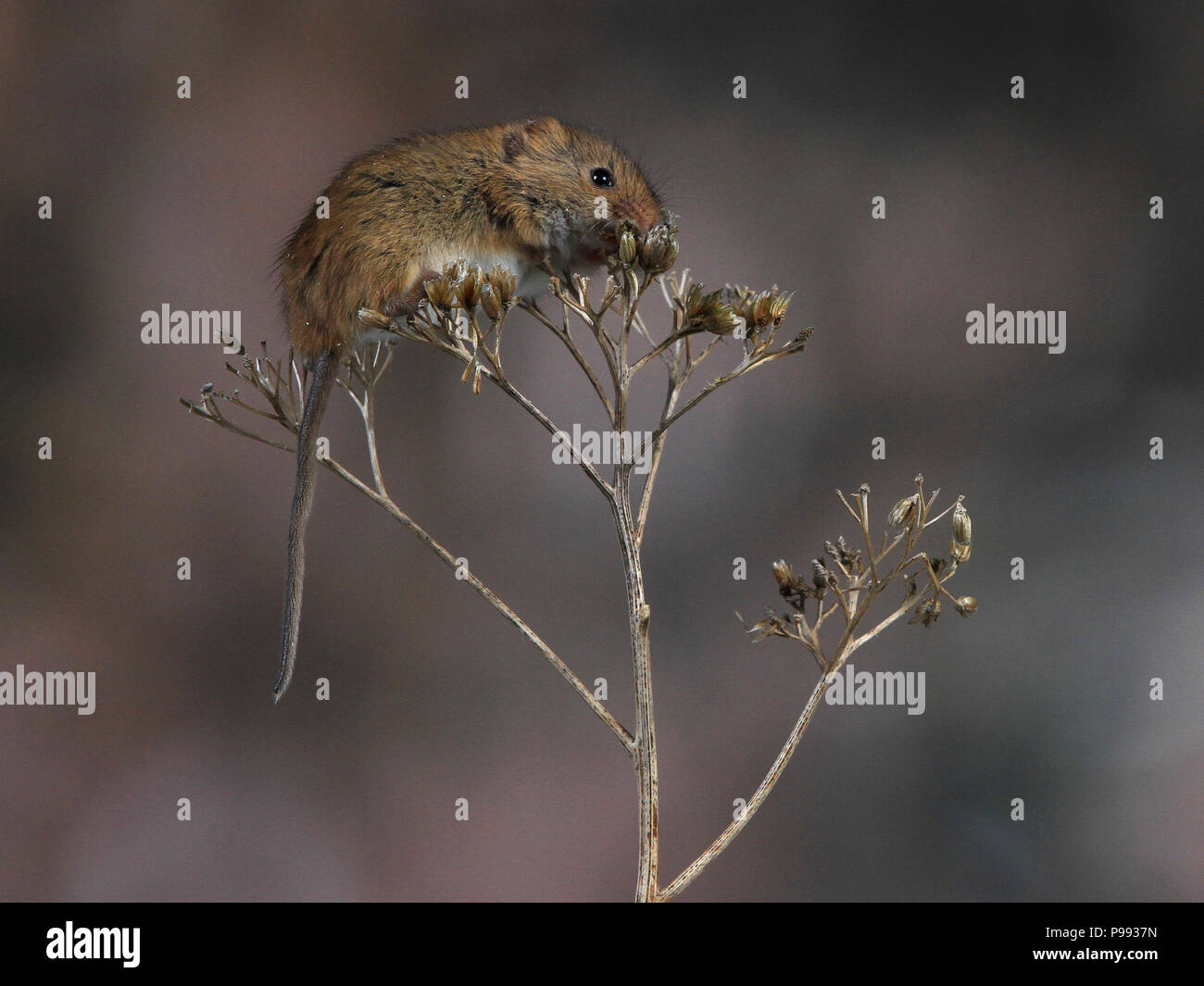 Harvest Mouse On Dried Flower Head - Stock Image