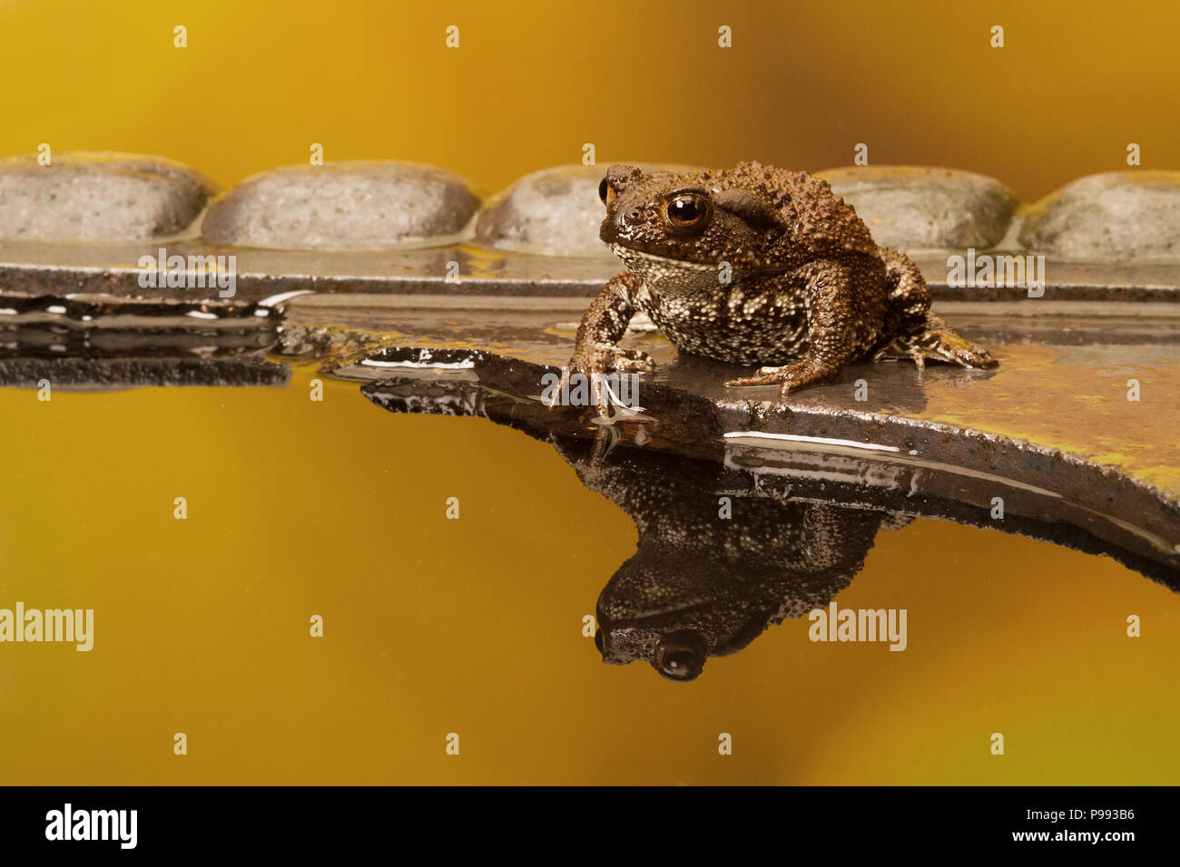 Common Toad - Stock Image