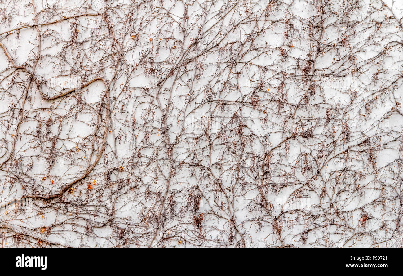 detail of Virginia creeper on plastered wall at winter time - Stock Image