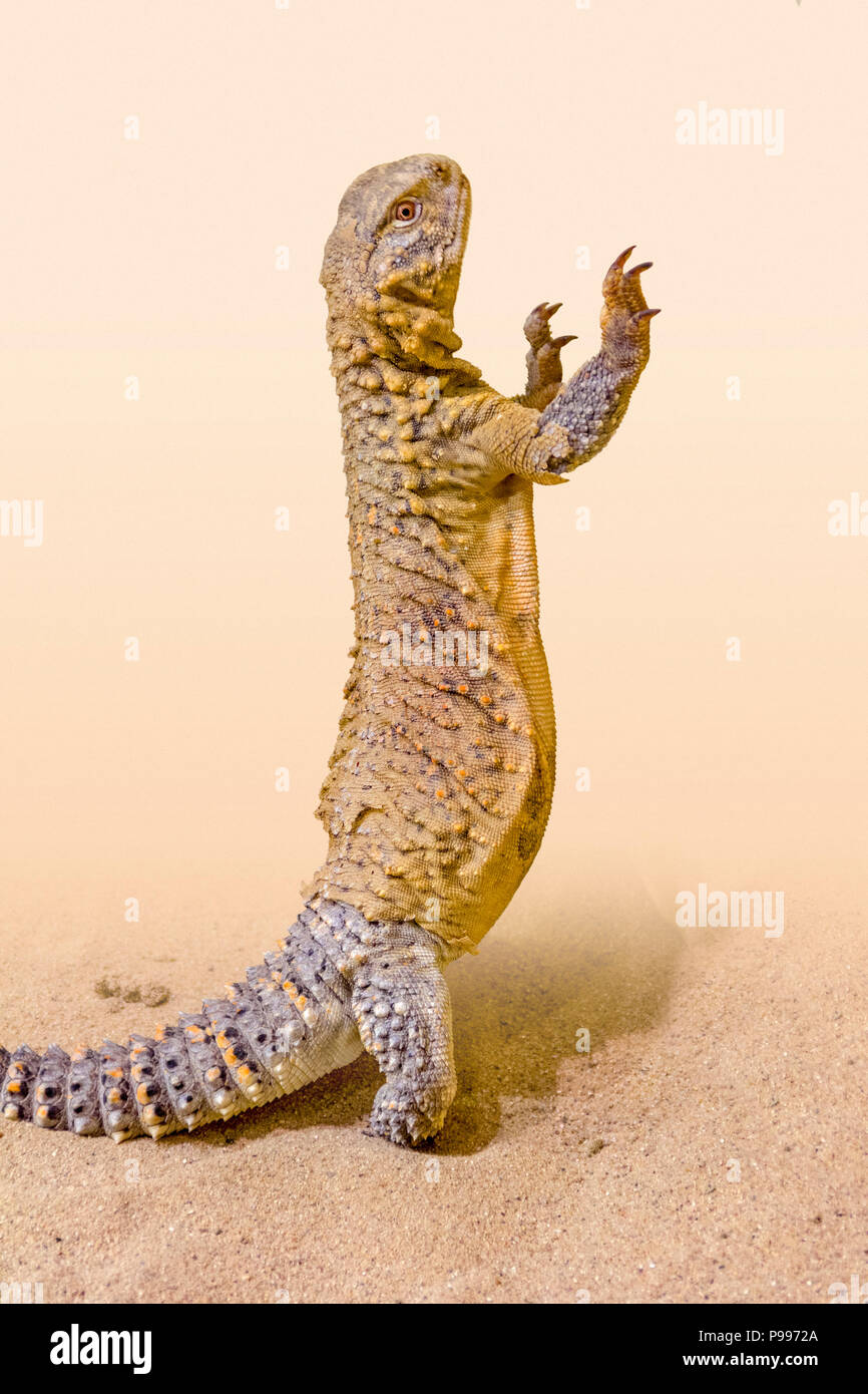 upright saurian in light brown sandy ambiance - Stock Image