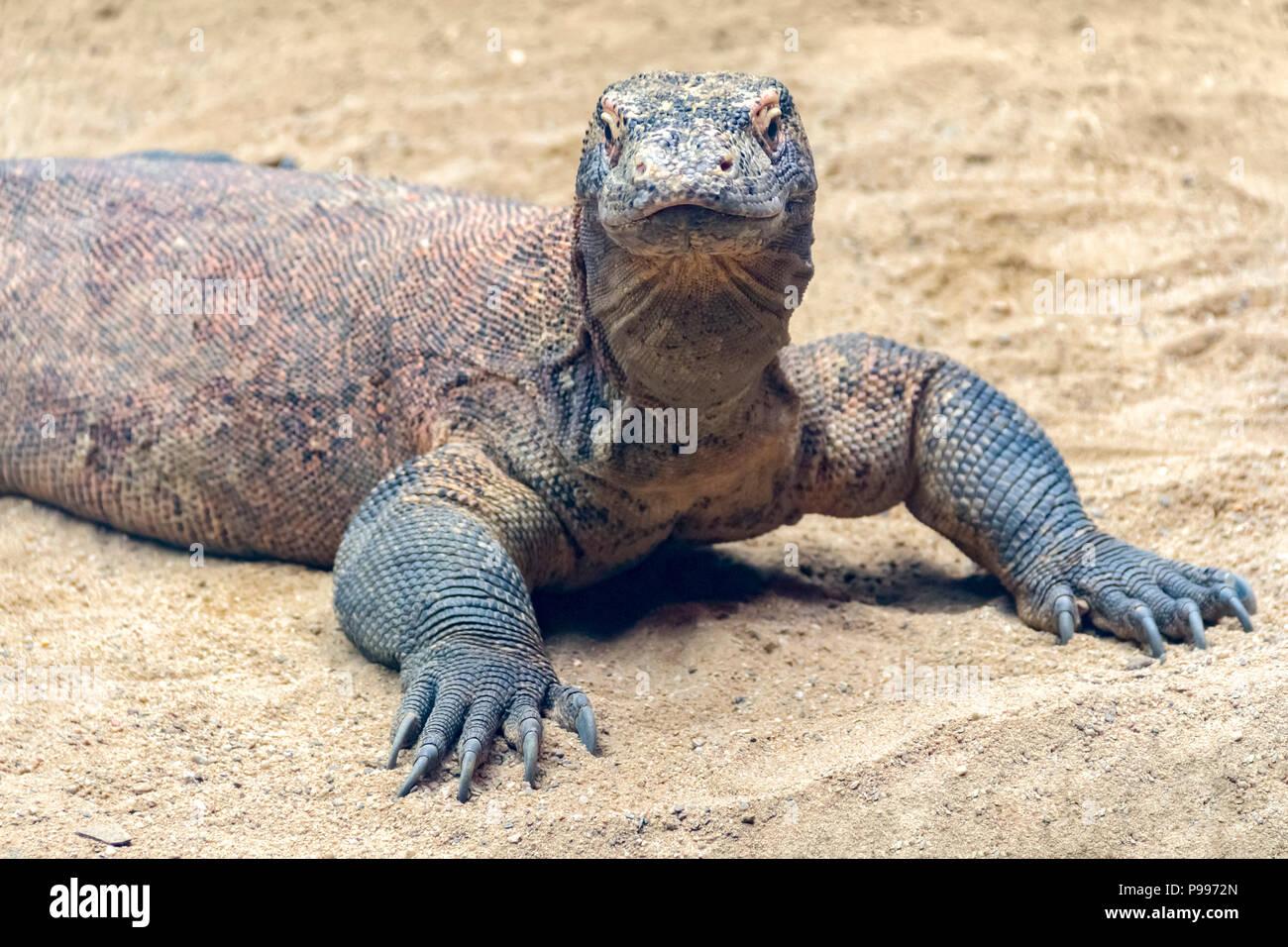 Komodo dragon in sandy light brown ambiance - Stock Image