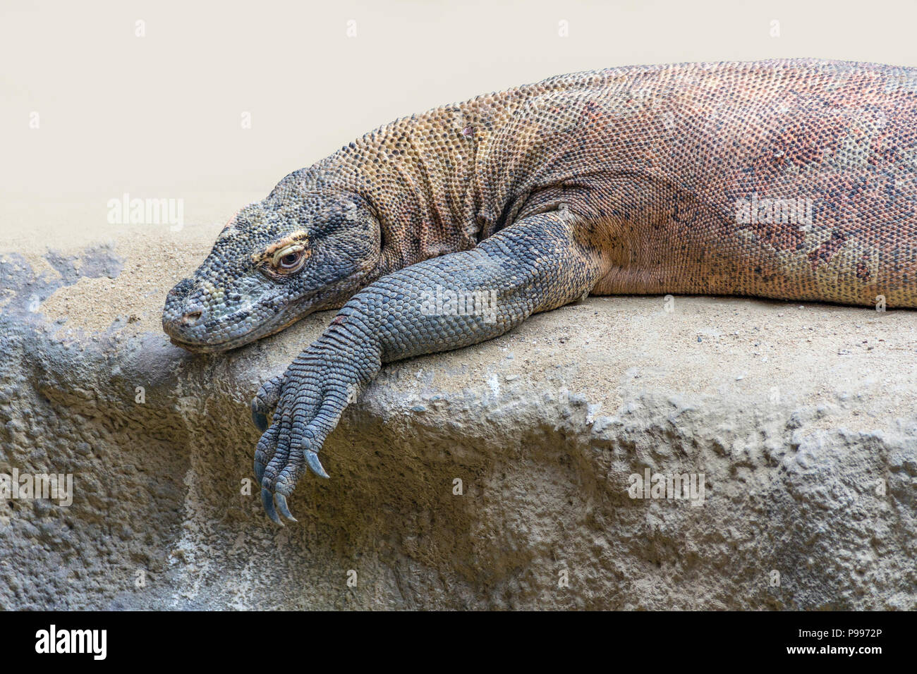 Komodo dragon resting on a rock formation - Stock Image