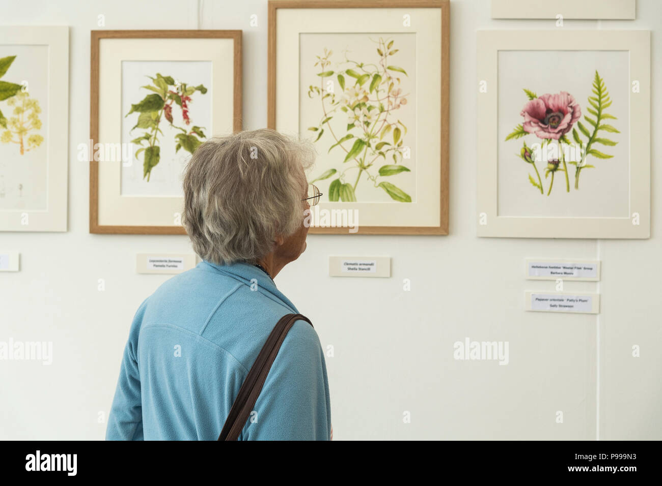 Woman at exhibition, looking closely at display of realistic beautiful botanical art paintings - RHS Chatsworth Flower Show, Derbyshire, England, UK. - Stock Image