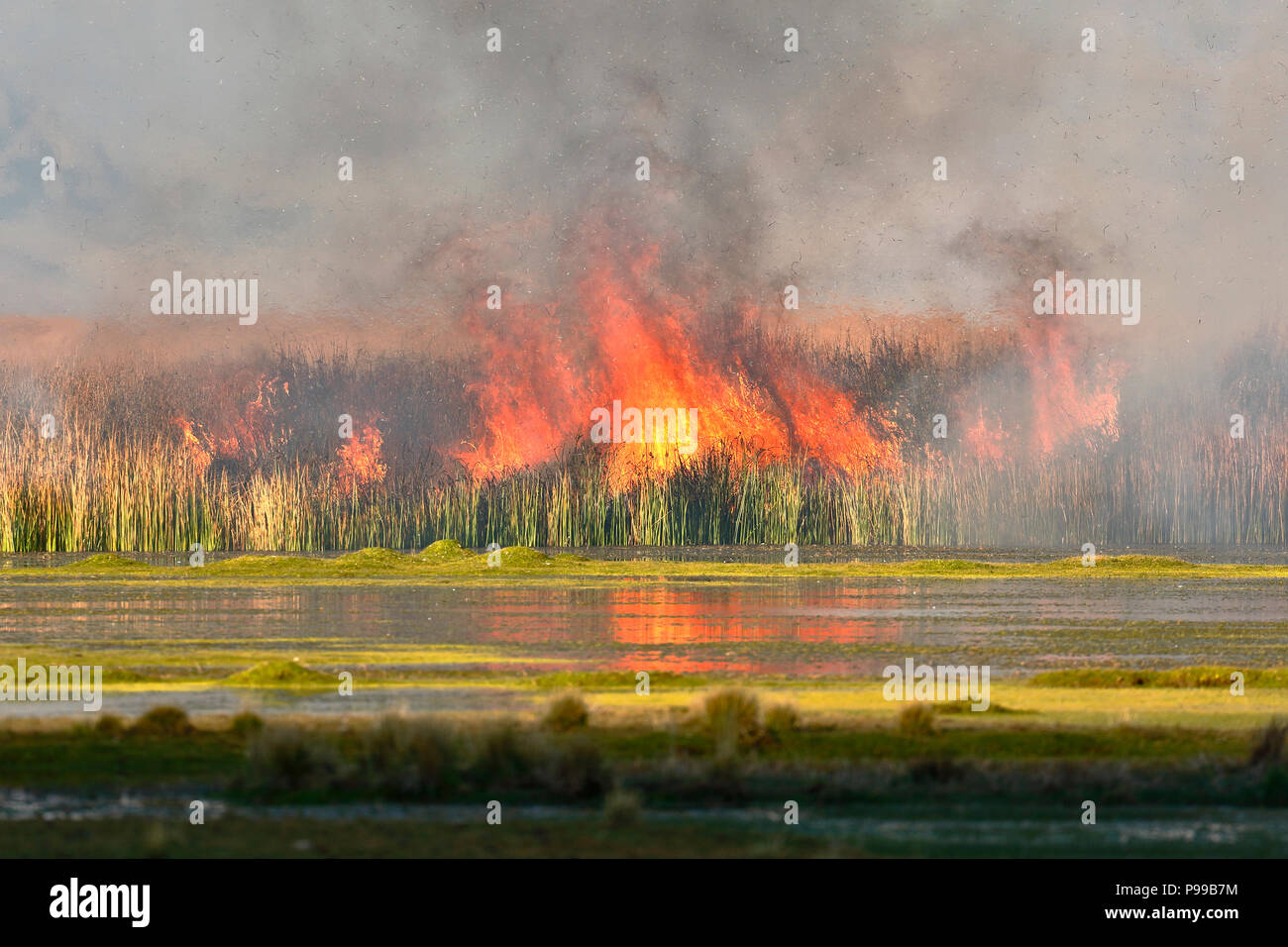Detail of fire of reeds inside the lake Junín in Ondores - Stock Image