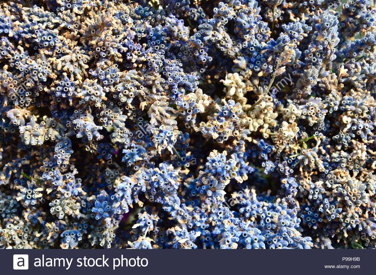 Dried lavender flowers, closeup, aromatic, Hildegard von Bingen, women's health, herbal, aromatherapy, health, natural, essential, homeopathy - Stock Image