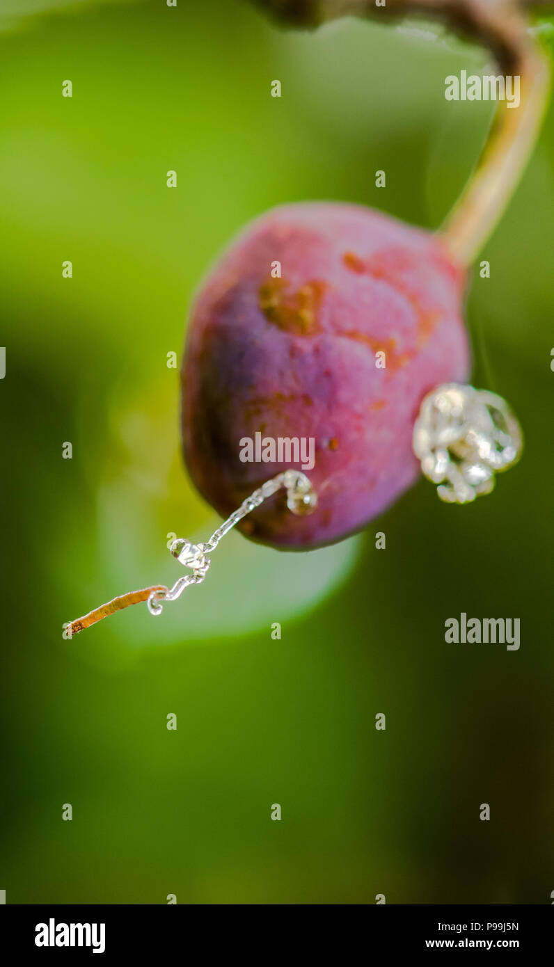 cb0f0bccd3437 Damson plum being infested by a plum fruit moth caterpillar. - Stock Image
