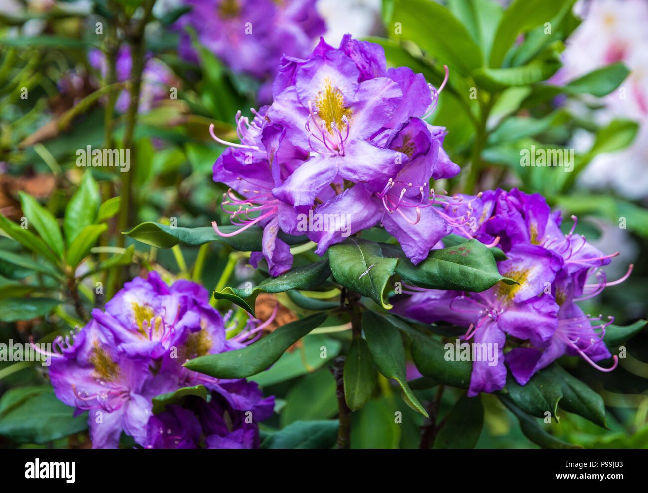 Rhododendron tree flowers.(Rhododendron arboreum). Blue Baron flowers of Rhododendrum tree. Purple flowers fo rhododendron tree. - Stock Image