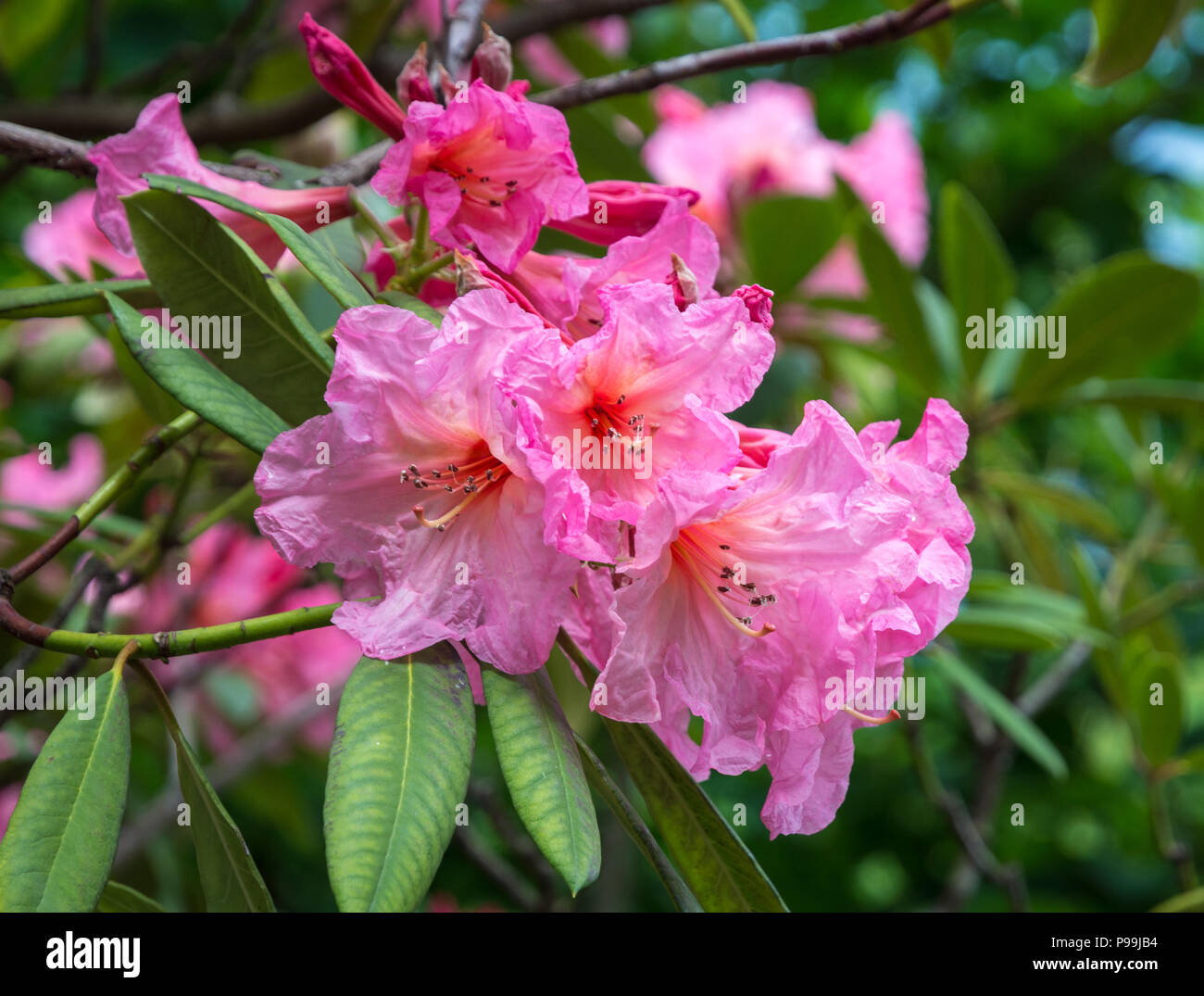 Rhododendron tree flowers.(Rhododendron arboreum). Ebony pearl flowers of Rhododendron tree. - Stock Image