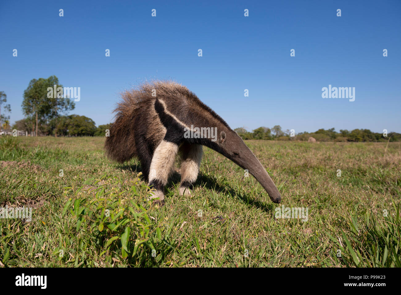 Starting to edit the photos from the South & North Pantanal Photo Tour 2018 completed yesterday. I'll start with this Giant Anteater, one of 27 that w - Stock Image