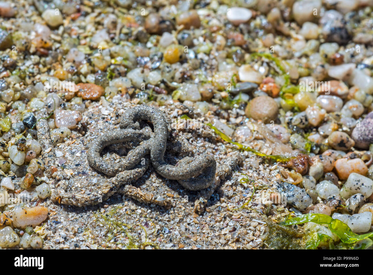 Lugworm / sandworm (Arenicola marina), large marine worm's casts of defecated sediment on beach at low tide along the North Sea coast - Stock Image