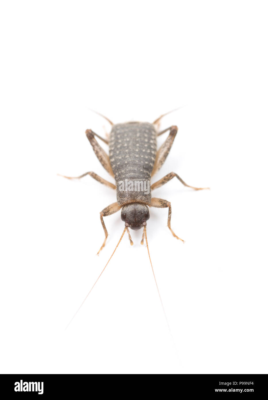A male scaly cricket, Pseudomogoplistes vicentae, found on Chesil Beach, Dorset and photographed on a white background before release. There are only  - Stock Image