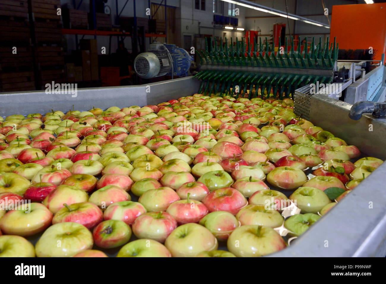 Germany, North Rhine-Westphalia - apple harvest in Neukirchen-Vluyn - Stock Image