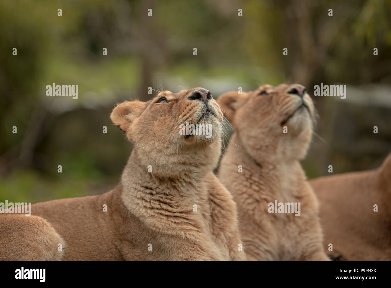 Lions looking up focused on prey - Stock Image