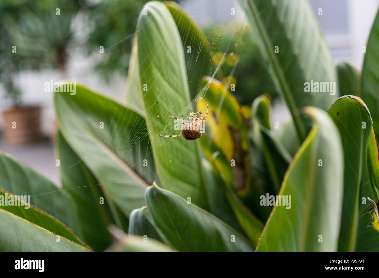 big spider sitting in web in plant close up macro with prey in net - Stock Image