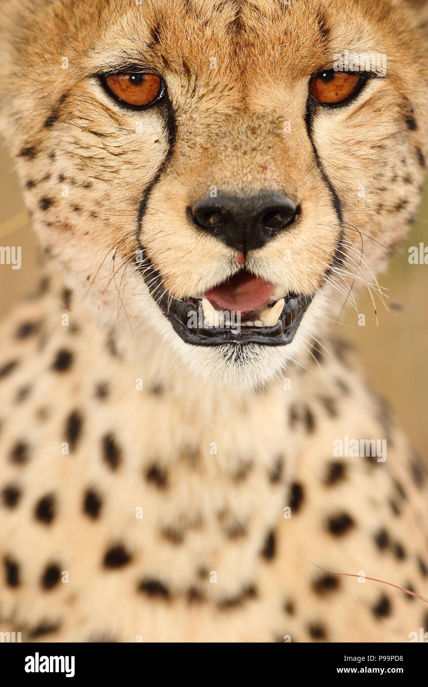 Cheetah close up portrait in dteal - Stock Image