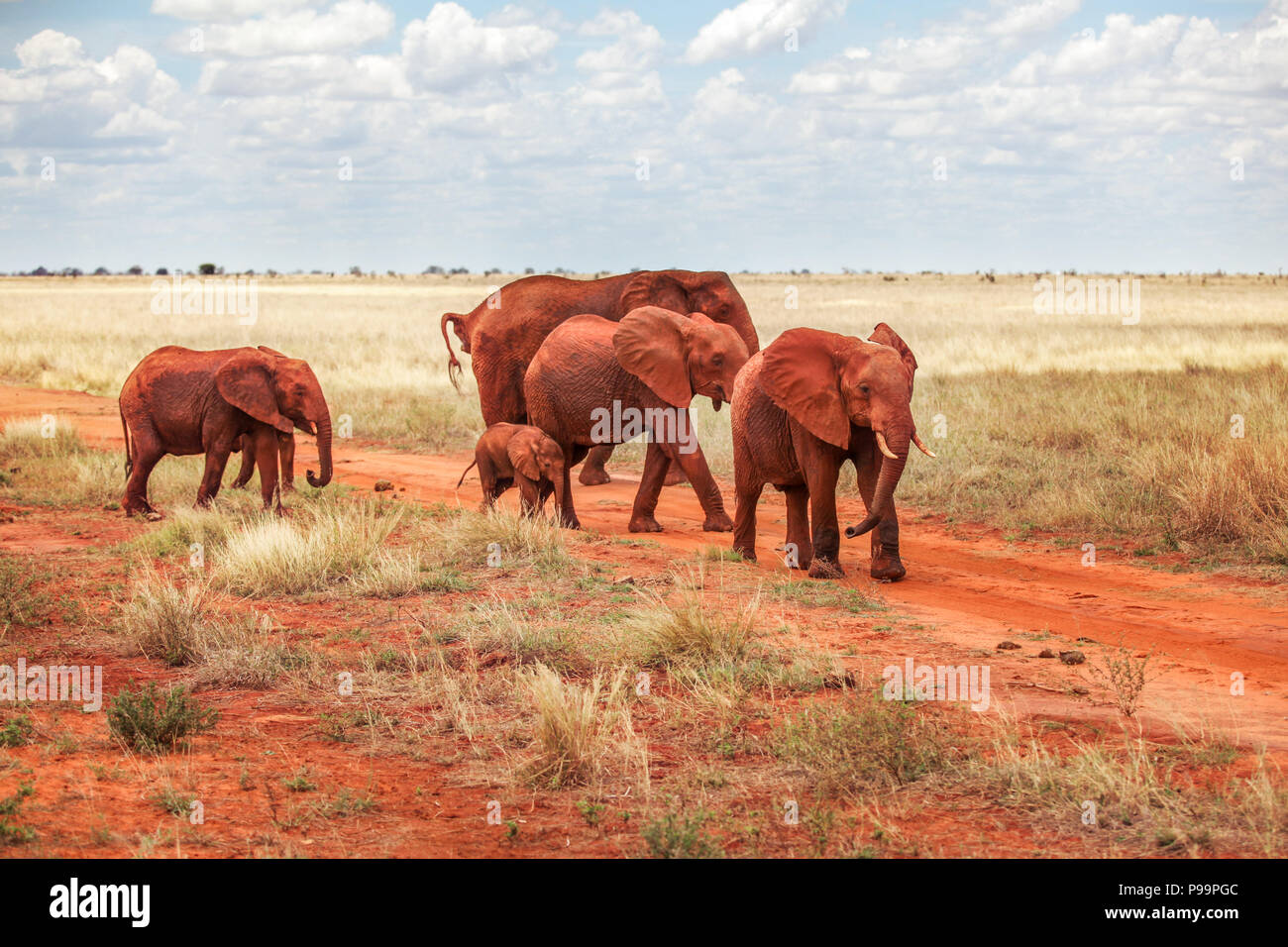 Group of African bush elephants (Loxodonta africana) red from dust, crossing the road during safari in Tsavo East national park, Kenya - Stock Image
