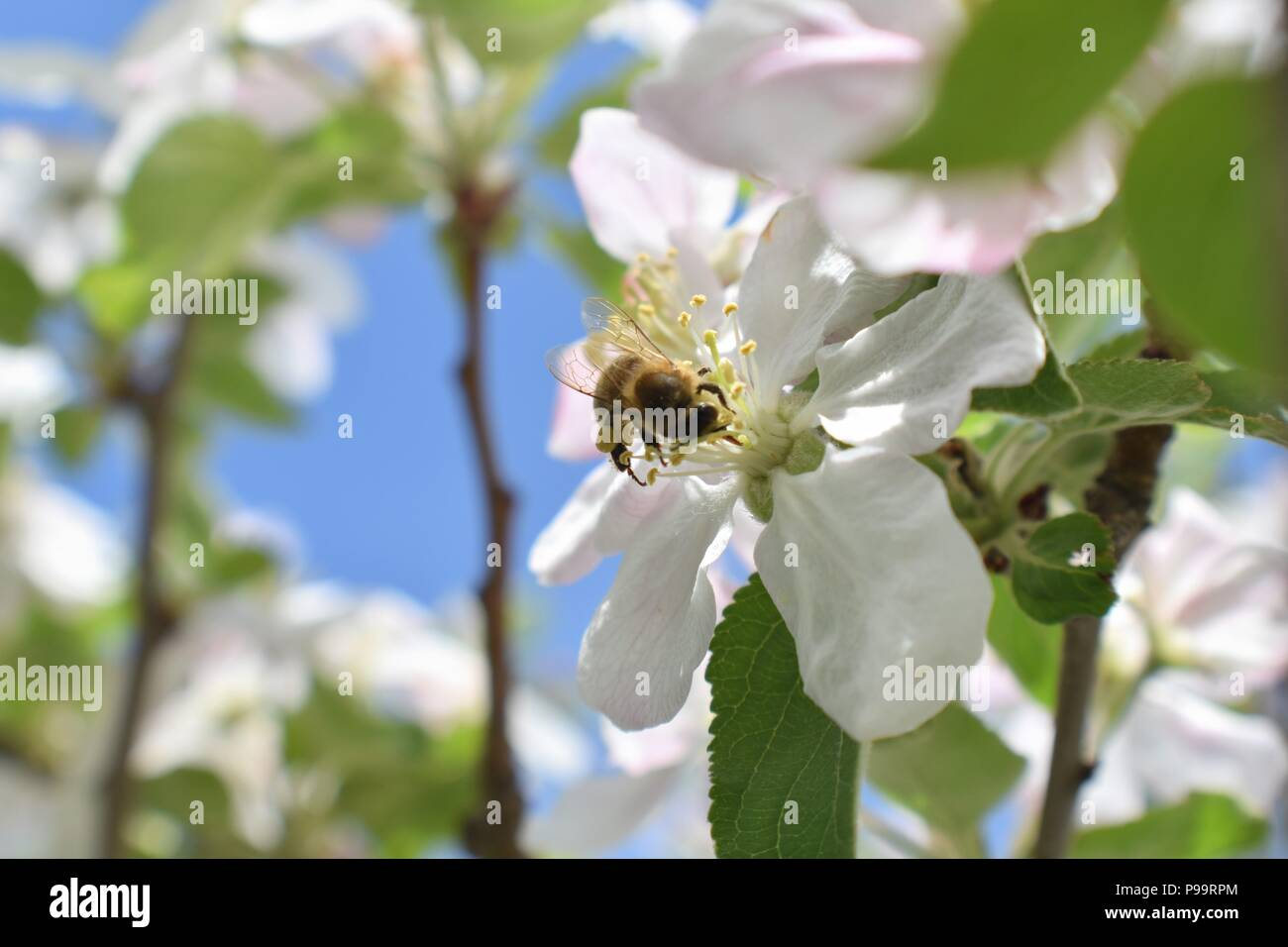 Honey Bee Macro in Springtime, white apple blossom flowers close up, bee collects pollen and nectar. Apple tree buds, spring background in South Jorda - Stock Image