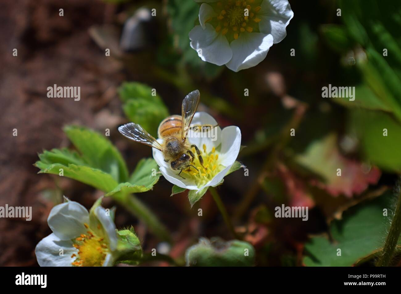 The Honey Bee Pollinates The Flowers Of The Strawberry Which