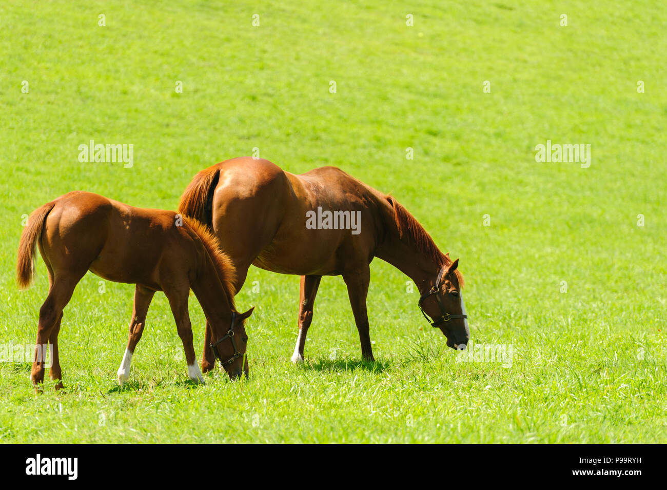 Horses grazing on Kentucky horse farm - Stock Image