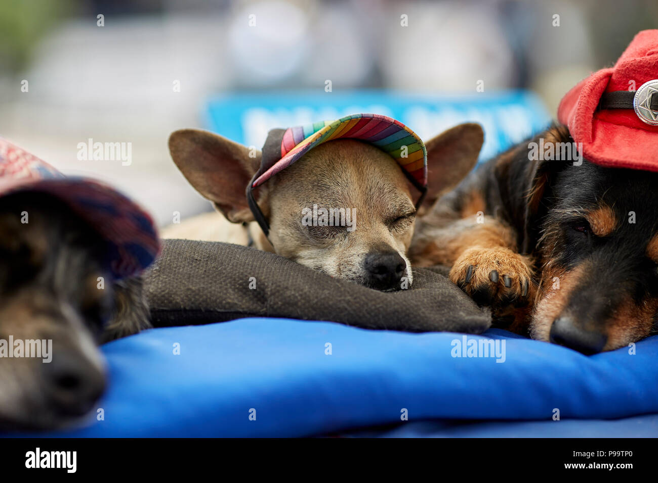 Prescott, Arizona, USA - June 30, 2018: Dogs sleeping with handmade doggie hats at the 4th of July festival in downtown Prescott - Stock Image