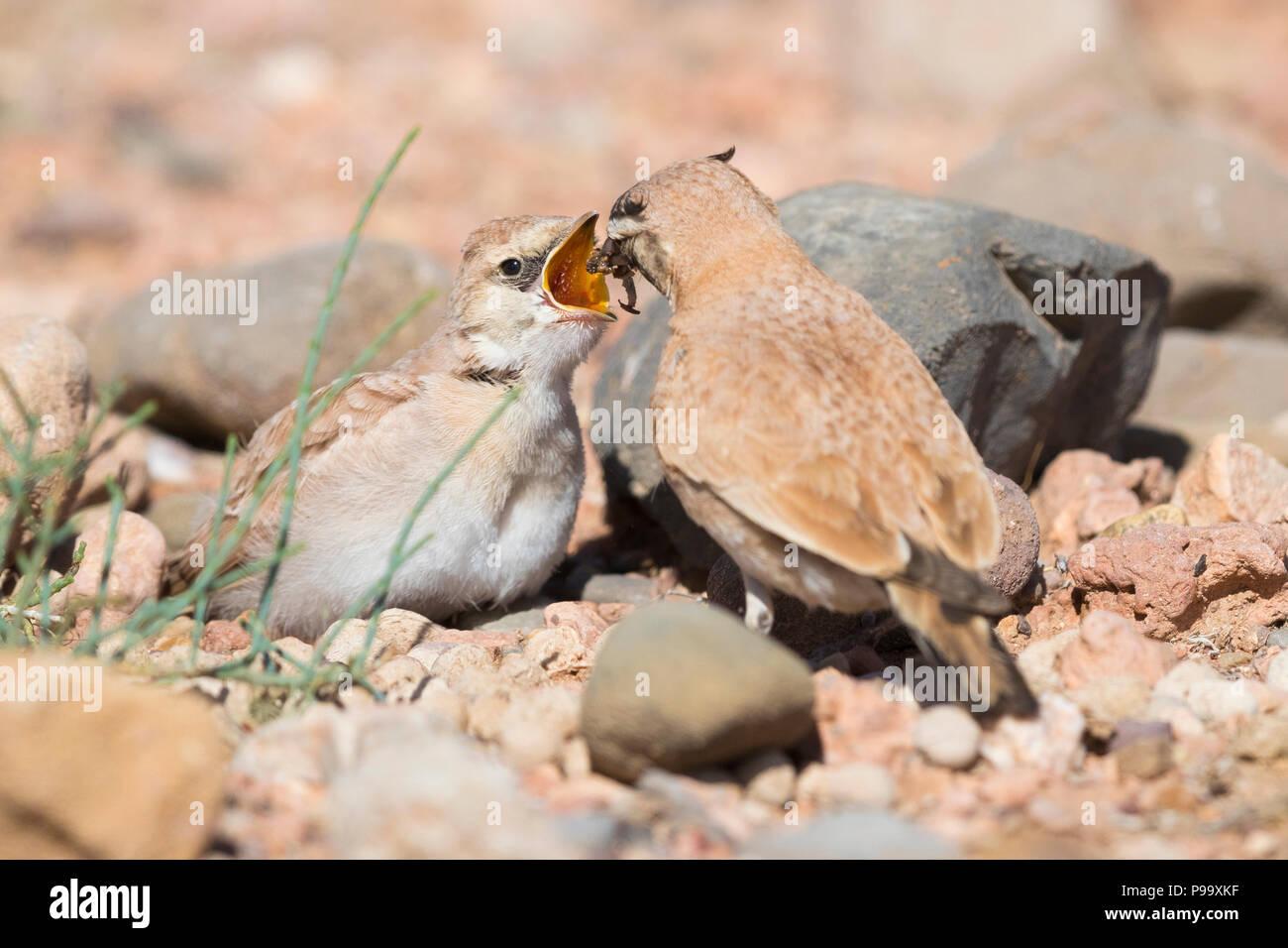Temminck's Lark (Eremophila bilopha), adult feeding its chick - Stock Image