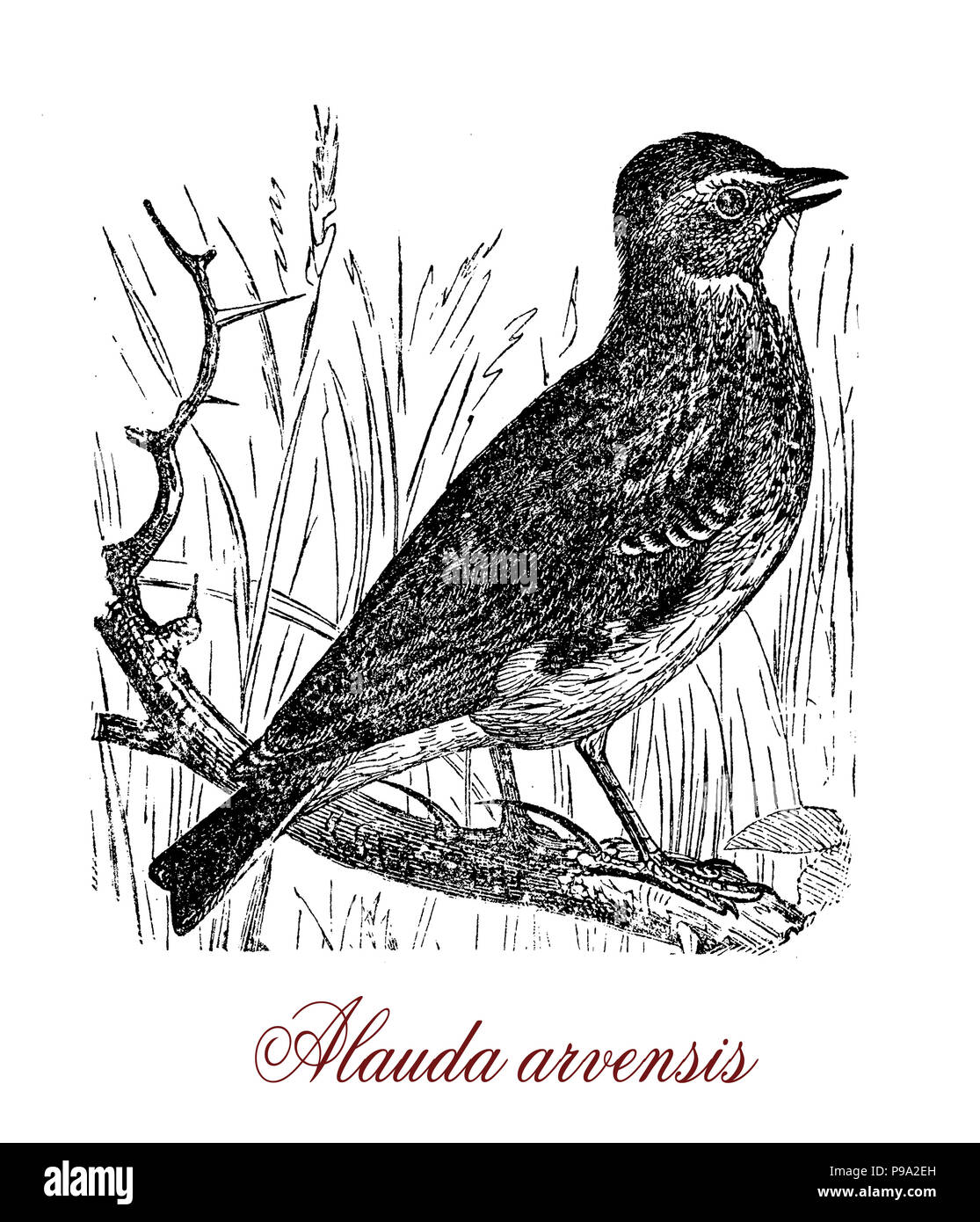 Vintage engraving of  Eurasian skylark, passerine bird living in farmland, known for the male song, - Stock Image