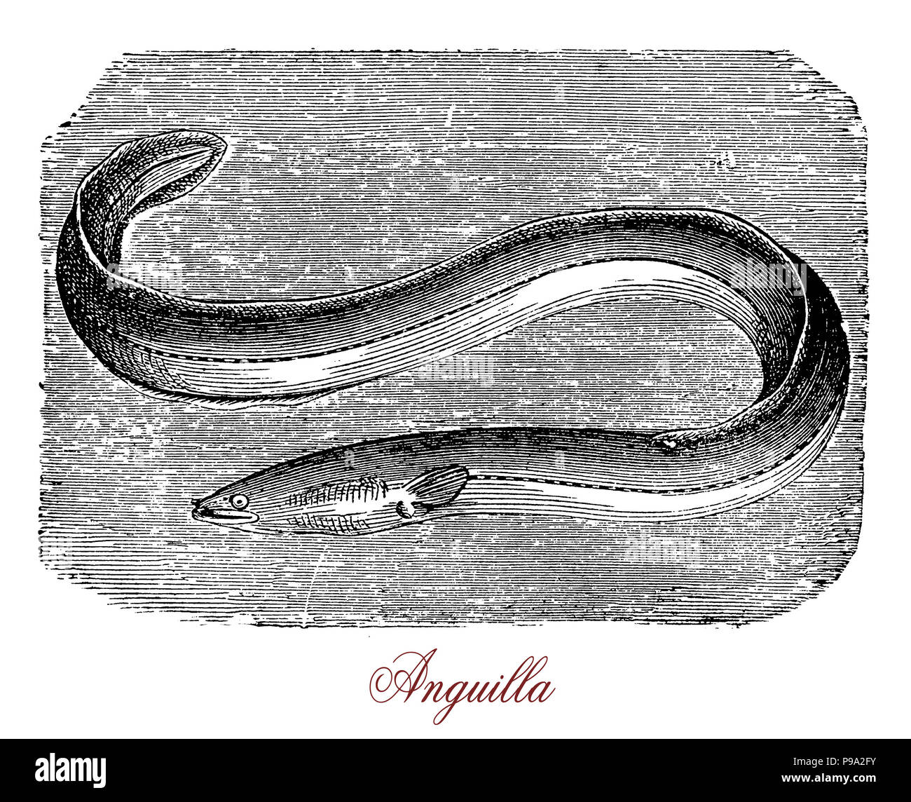 Vintage engraving of freshwater eel or anguilla, fish with snake-like body of  freshwater rivers, lakes, or estuaries. It migrates to ocean to reproduce and it is considered a food fish. - Stock Image