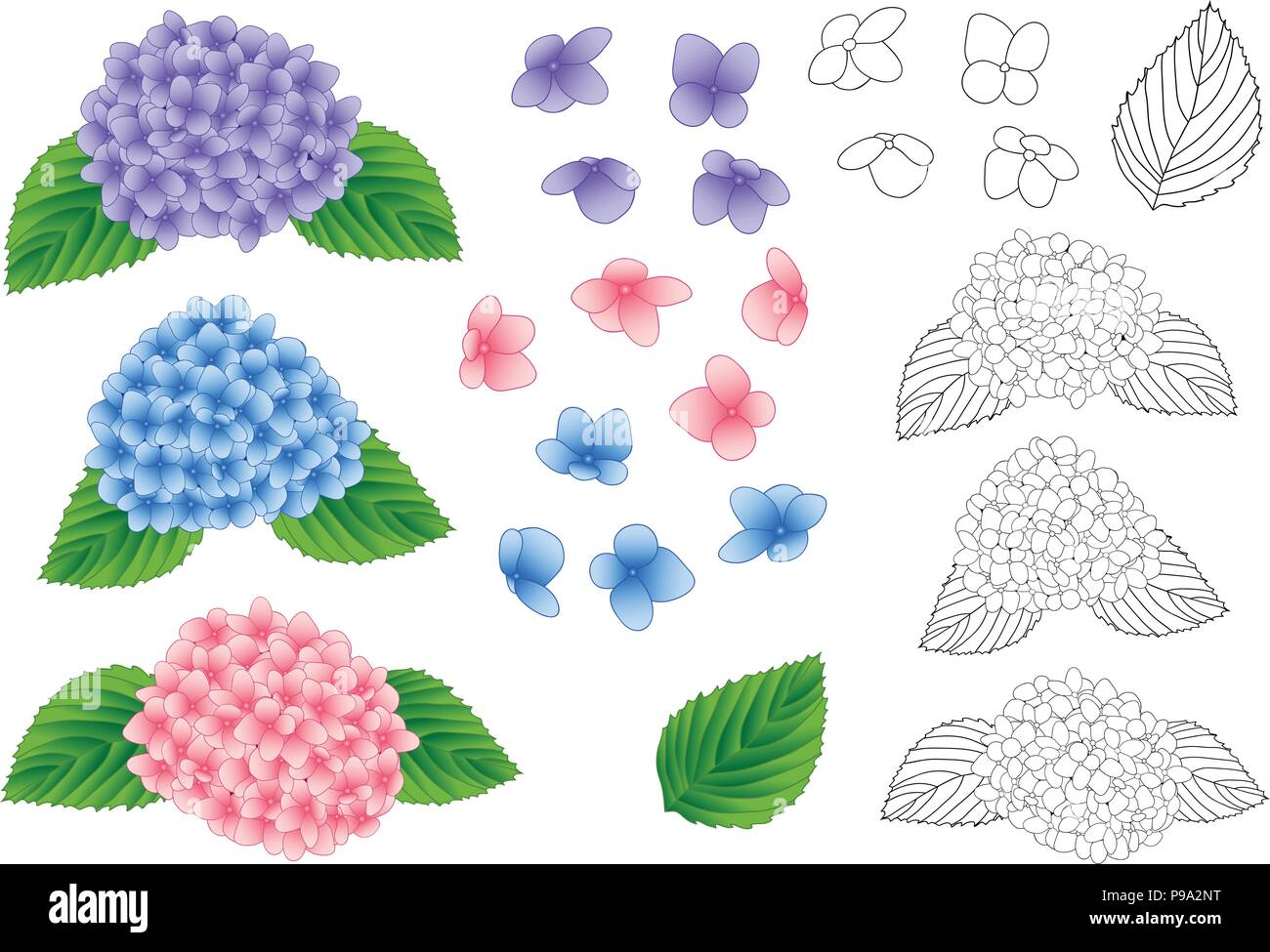 Blue Pink And Purple Hydrangea Flower Outline Isolated On White