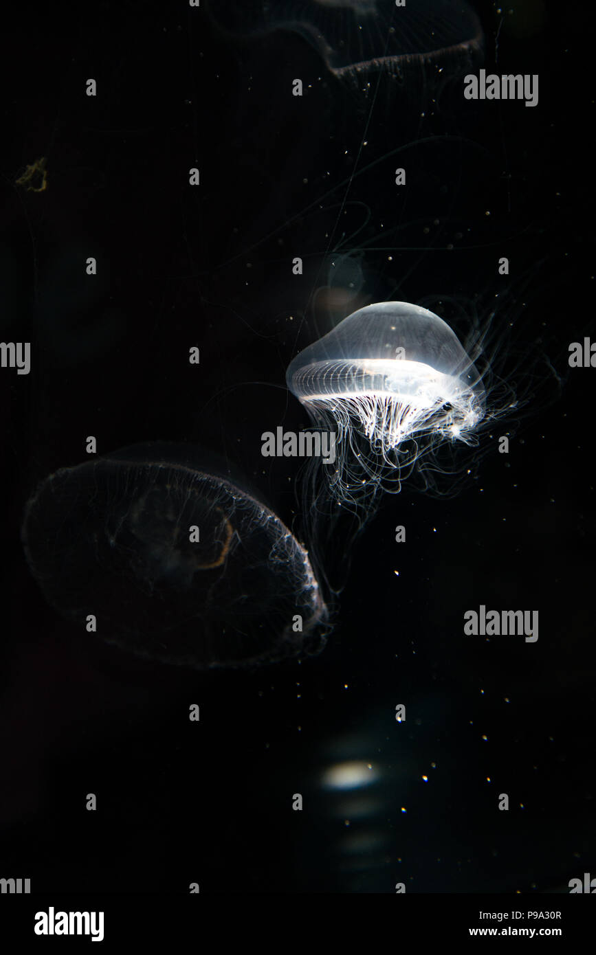 Jellyfish or Rhizostoma pulmo floating in aquarium - Stock Image